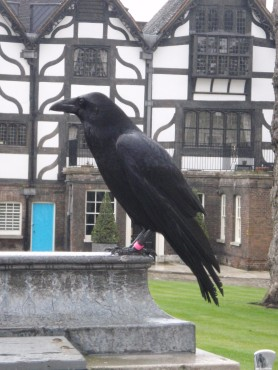 The ravens are HUGE